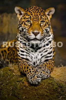 Ягуар лежит