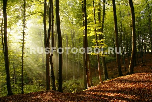 Фотообои Лучи солнца в лесу 3Д
