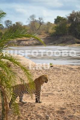 Леопард на берегу