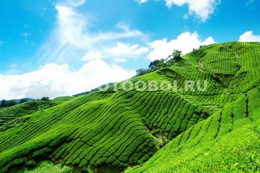 Фотообои Чайная плантация