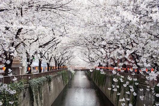 Канал с деревьями сакуры