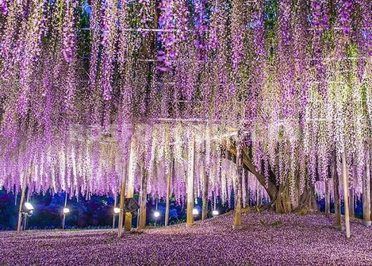 Старое дерево в цвету