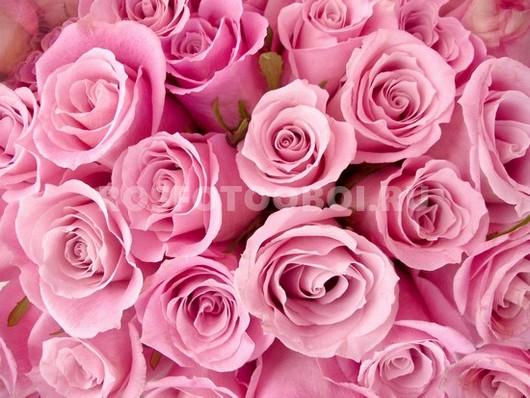 Розовые нежные розы