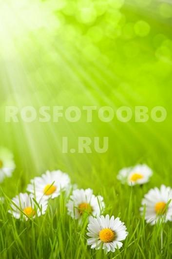 Ромашки под солнцем