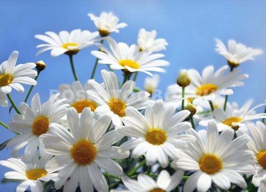 Фотообои Белые ромашки