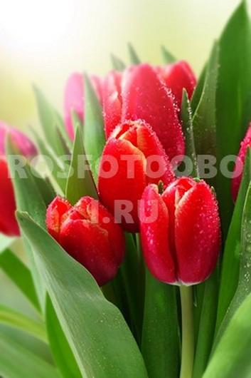 Карсные тюльпаны