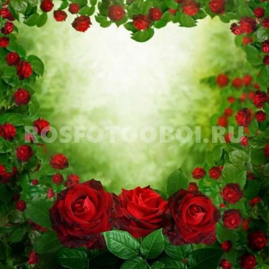 Ярко алые розы
