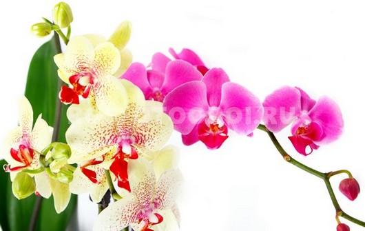 Ветки орхидеи