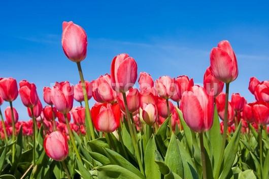 Фотообои Тюльпаны на фоне неба