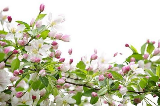 Фотообои Цветущие ветки яблони