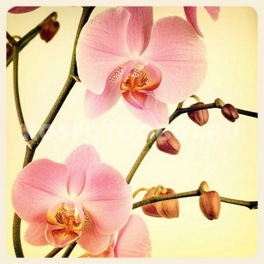 Нежно розовые орхидеи