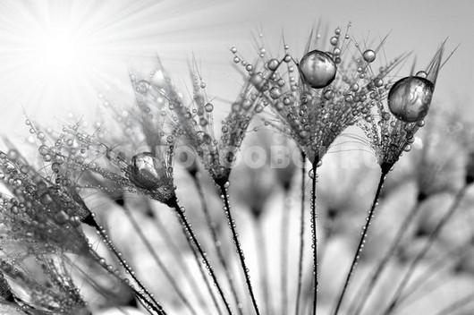 Фотообои Капли на зонтике одуванчика