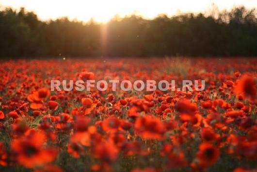 Красное маковое поле