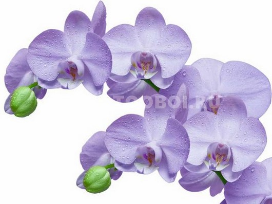 Нежно сиреневая орхидея