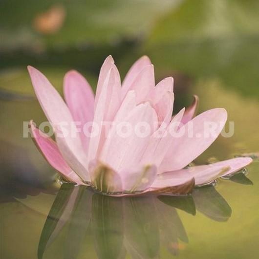 Фотообои Лотос на воде