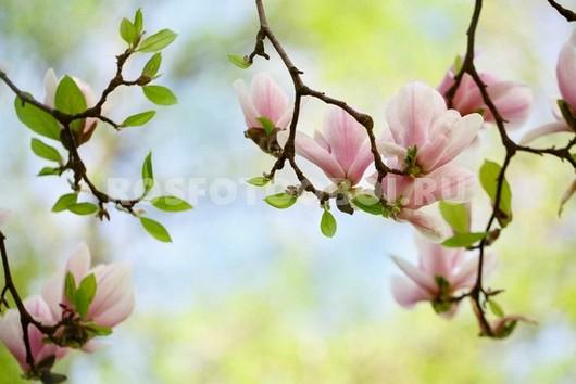 Розовые магнолии