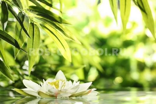Лилия на воде