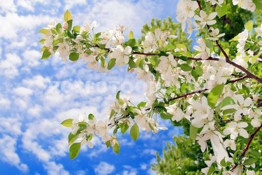 Цветущая  яблоня на фоне голубого неба