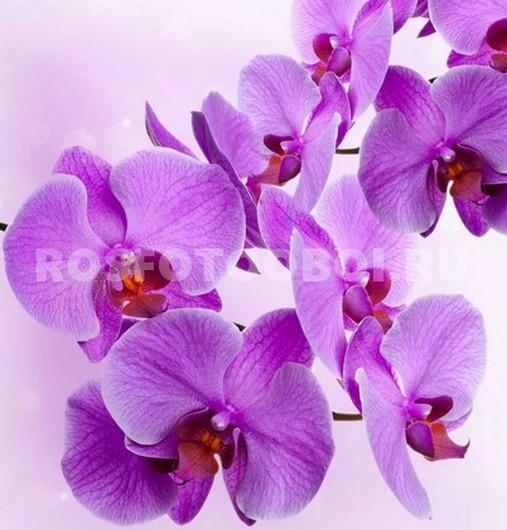 Фотообои Ярко пурпурная орхидея