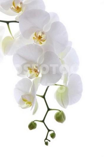 Светло белая орхидея