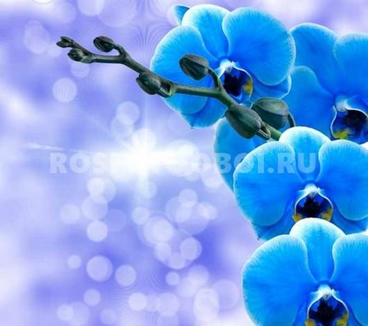 Фотообои Орхидея синяя