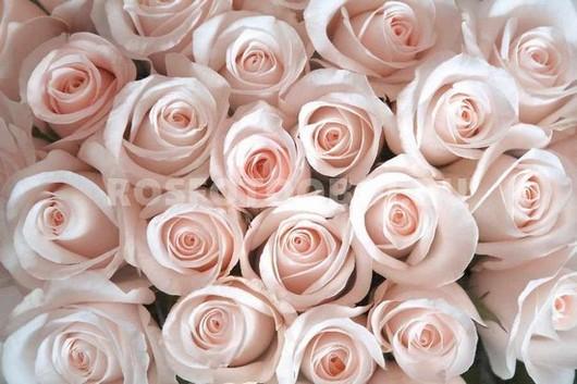 Бежевые нежные розы