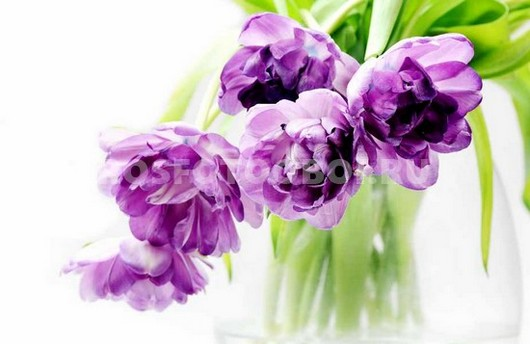 Фиолетовые тюльпаны