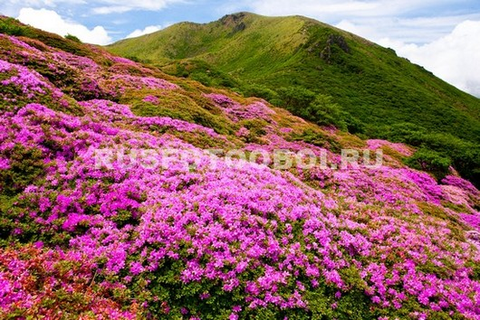 Фотообои Альпийские луга в цвету