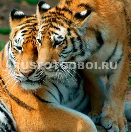 Фотообои Два тигра