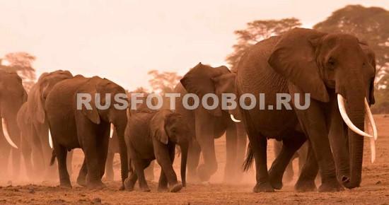 Фотообои Африканские слоны