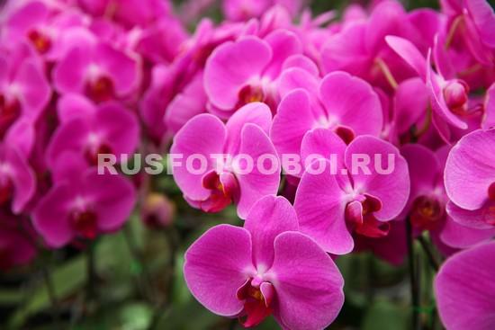 Круглые цветы орхидеи
