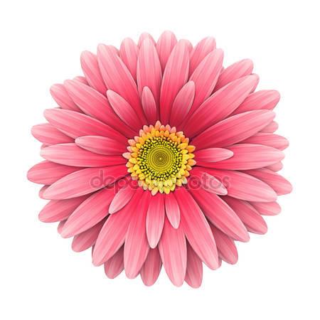 Цветок розовая ромашка