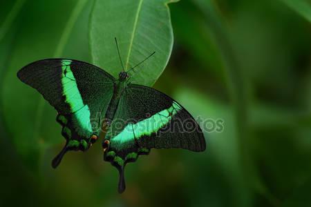 Зеленая бабочка махаон
