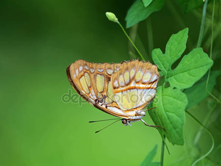 Малахитовая бабочка