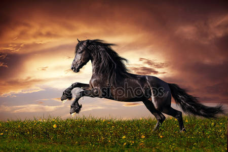 Черная фризская лошадь