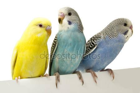 Три птицы находятся на белом фоне