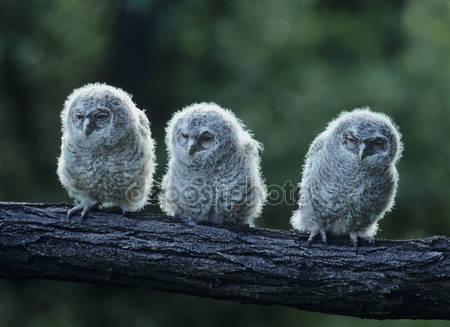 Три совы на ветке