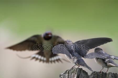 Деревенская ласточка птицы