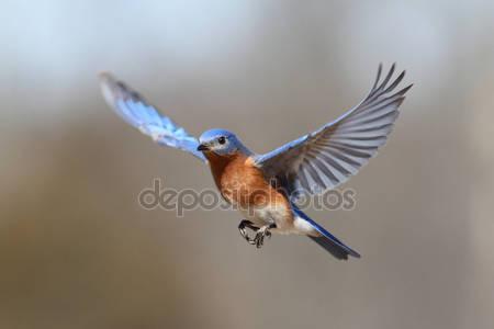 Синяя птица в полете