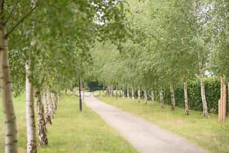 Зеленая березовая аллея