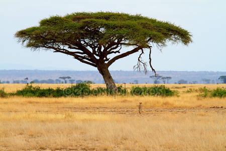 Фотообои Пейзаж с акации и гепарда
