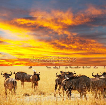 Фотообои Антилопы gnu