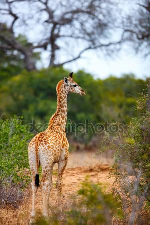Жираф в южной африке