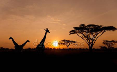 Заходящее солнце с силуэтами жирафов