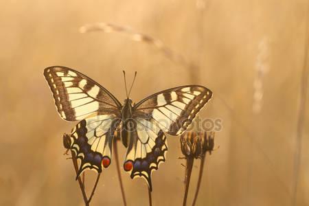Фотообои Бабочка махаон