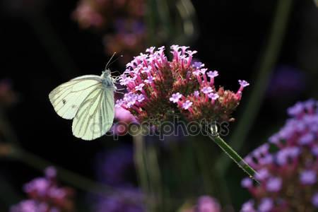 Фотообои Белая бабочка сидит на цветах