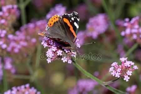 Аталанта бабочка сидит на цветах