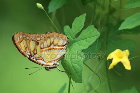 Красивые малахитовые бабочки