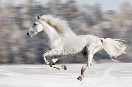 Белая лошадь бежит галопом в зимнее время