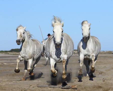 Фотообои Белый камарг лошадей
